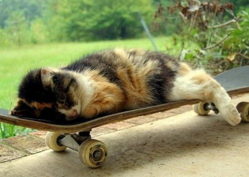 Cute Skateboard Kitten Of The Day Petslady Com Cat Sleeping Animals Pretty Cats