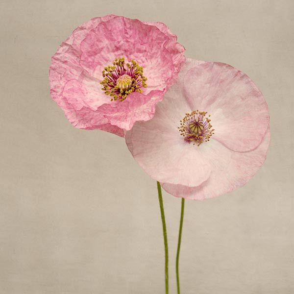 Poppy art fine art flower photography print pink poppies no 7 poppy art fine art flower photography print pink poppies no 7 mightylinksfo Choice Image