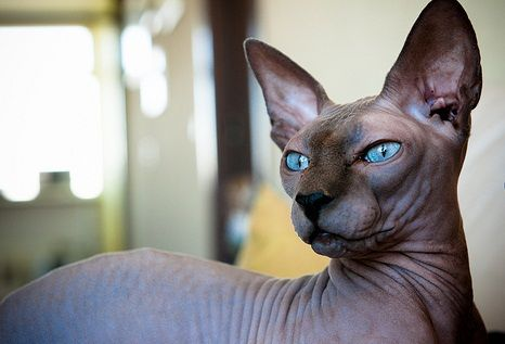 Pin By Amy Simmons On This Will Be Mine Cat Breeds Rare Cats Cats