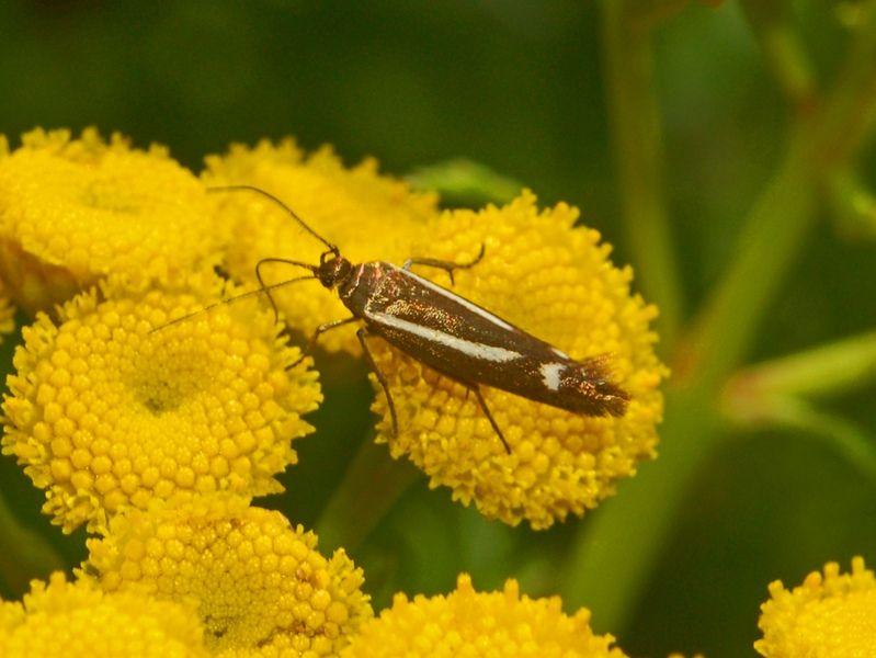 https://flic.kr/p/dDDwWe   Scythridae - Scythris heinemanni-3   Scytridae - Scythris heinemanni