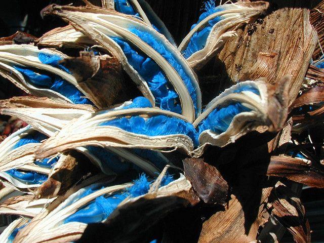 Brilliant lapis lazuli Travelers Palm seeds | Travellers ...