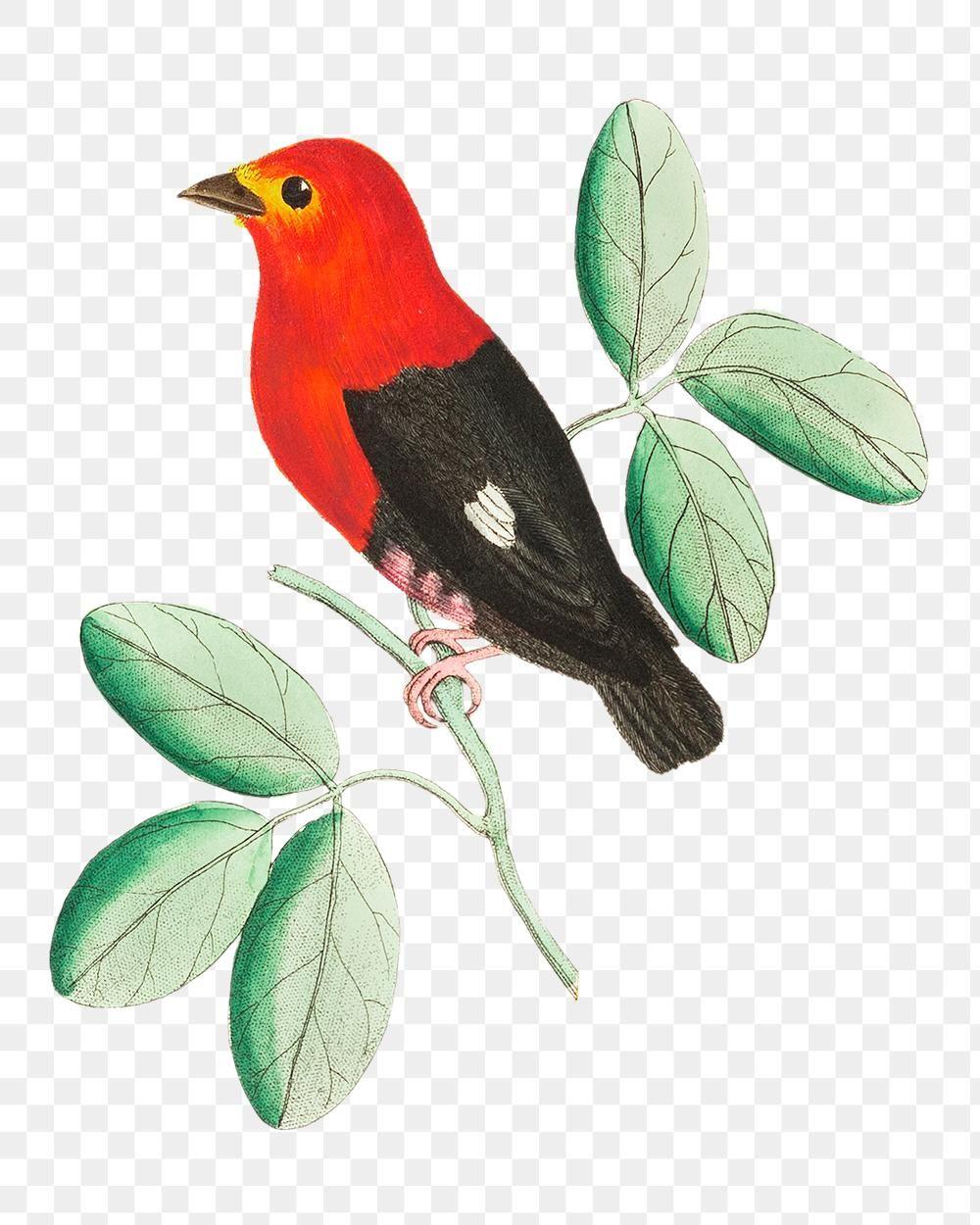 Png Animal Sticker Red Manakin Bird Illustration Free Image By Rawpixel Com Maewh Bird Illustration Animal Stickers Animal Illustration