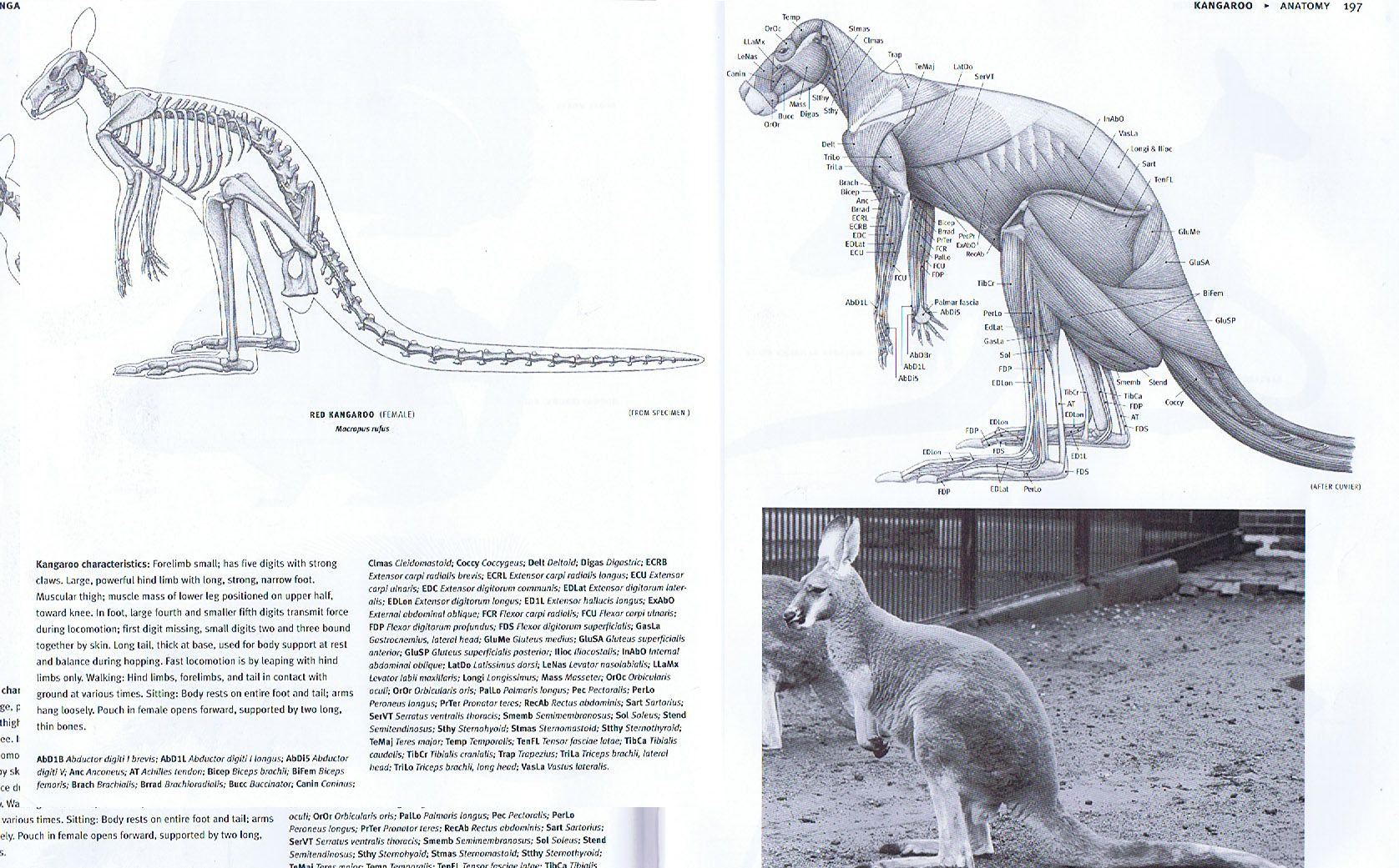 The Kangaroo Like The Giraffe Is Not An Archetypical Anything