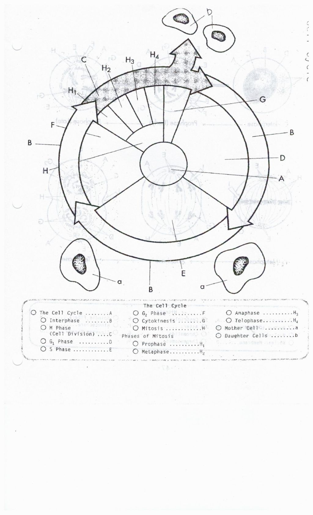 Worksheets The Cell Cycle Coloring Worksheet Answers