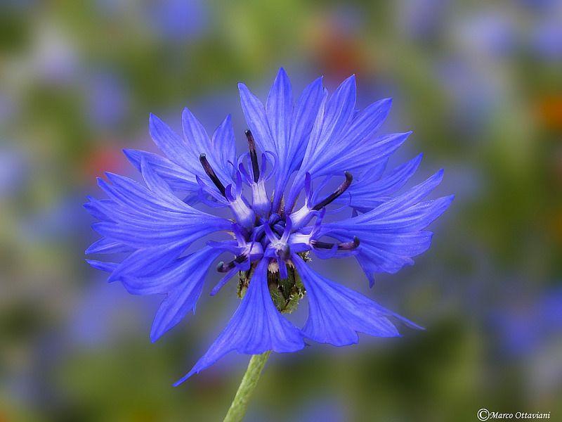 Fiordaliso Cornflower Centaurea Cyanus Cornflower Flower Garden Flowers