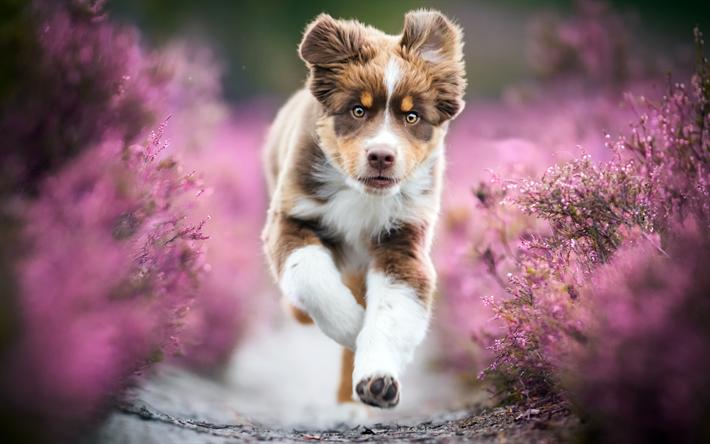 Download Wallpapers Australian Shepherd Lavender Bokeh Cute Aussie Running Dog Pets Dogs Aussie Australian Shepherd Dog Aussie Dog Besthqwallpapers Com Australian Puppies Puppies Pretty Dogs