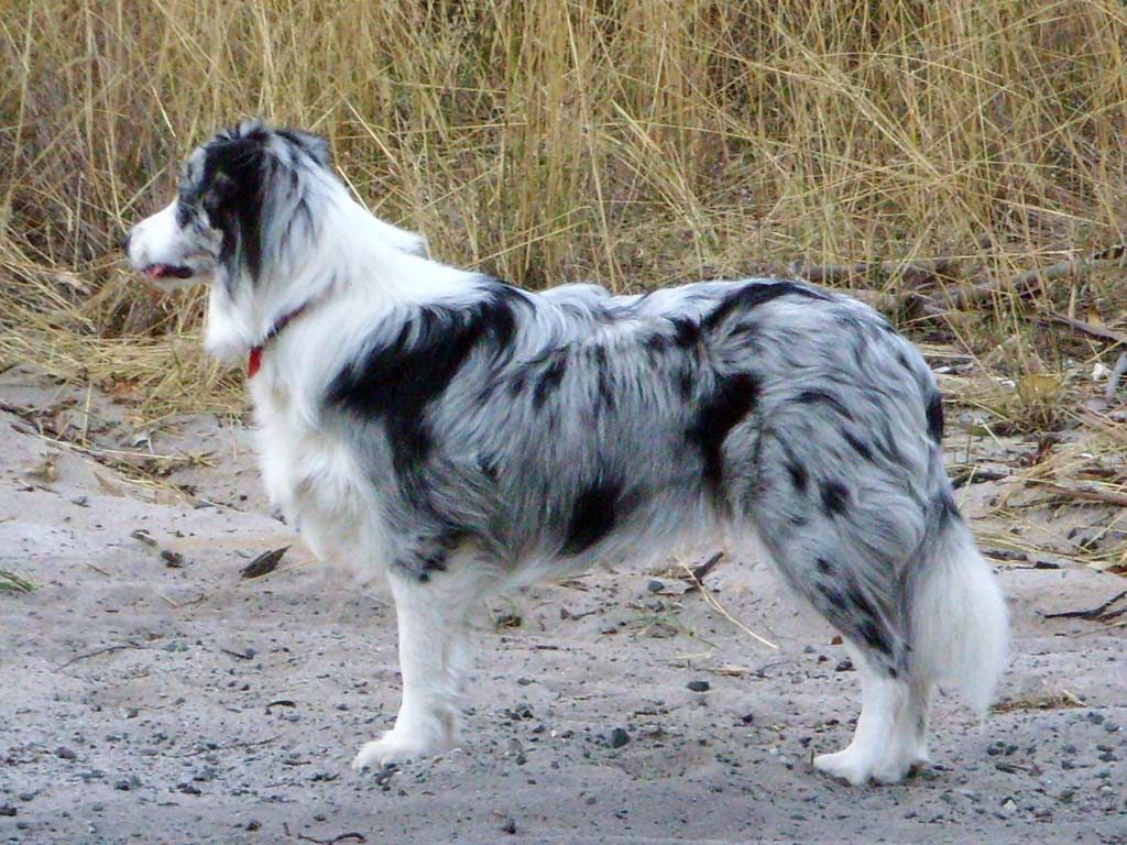Perfekt Blue Merle Border Collie