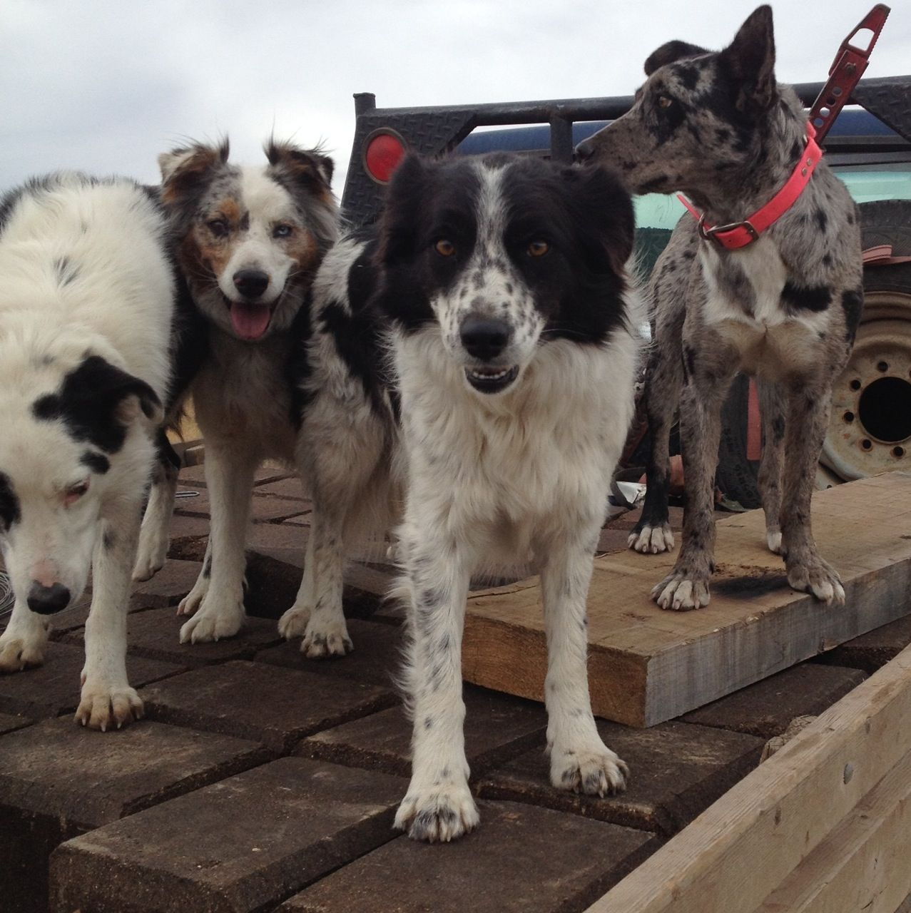 Ranch Diaries One Dog Can Be Worth Three Hands Dogs Herding Dogs