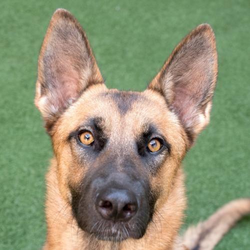 Dog Adoption Peninsula Humane Society & SPCA in