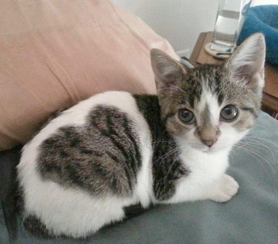 !4Karat Bengal Kitten KaShamii owned by Don & LaDonna