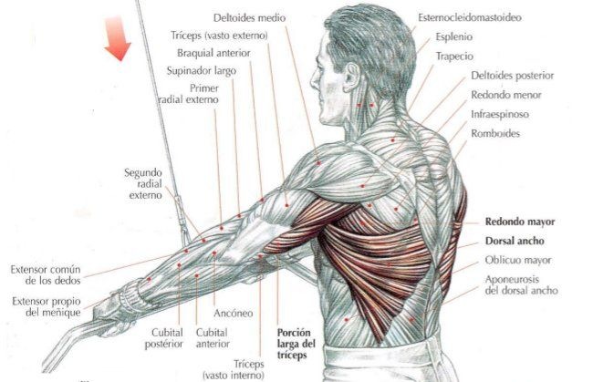 Musculo Redondo Mayor, v. Anterior | Anatomía 2 - Hombro | Pinterest