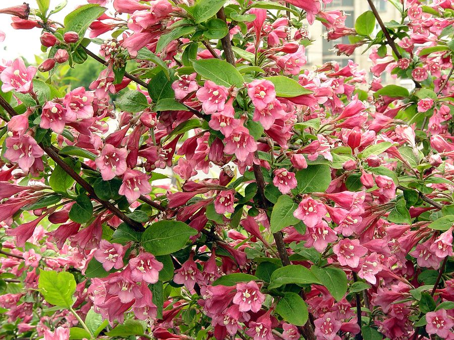With it's trumpet-shaped flowers, weigela can be a favorite stop for hummingbirds.  The hummingbirds are attracted to the fragrant nectar and red-toned flowers.