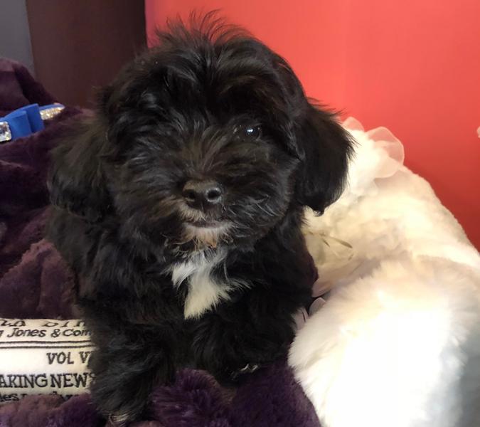 Camo Yorkie Poo Love My Puppy Boca Raton In 2020 Yorkie Poo Baby Corgi Yorkie