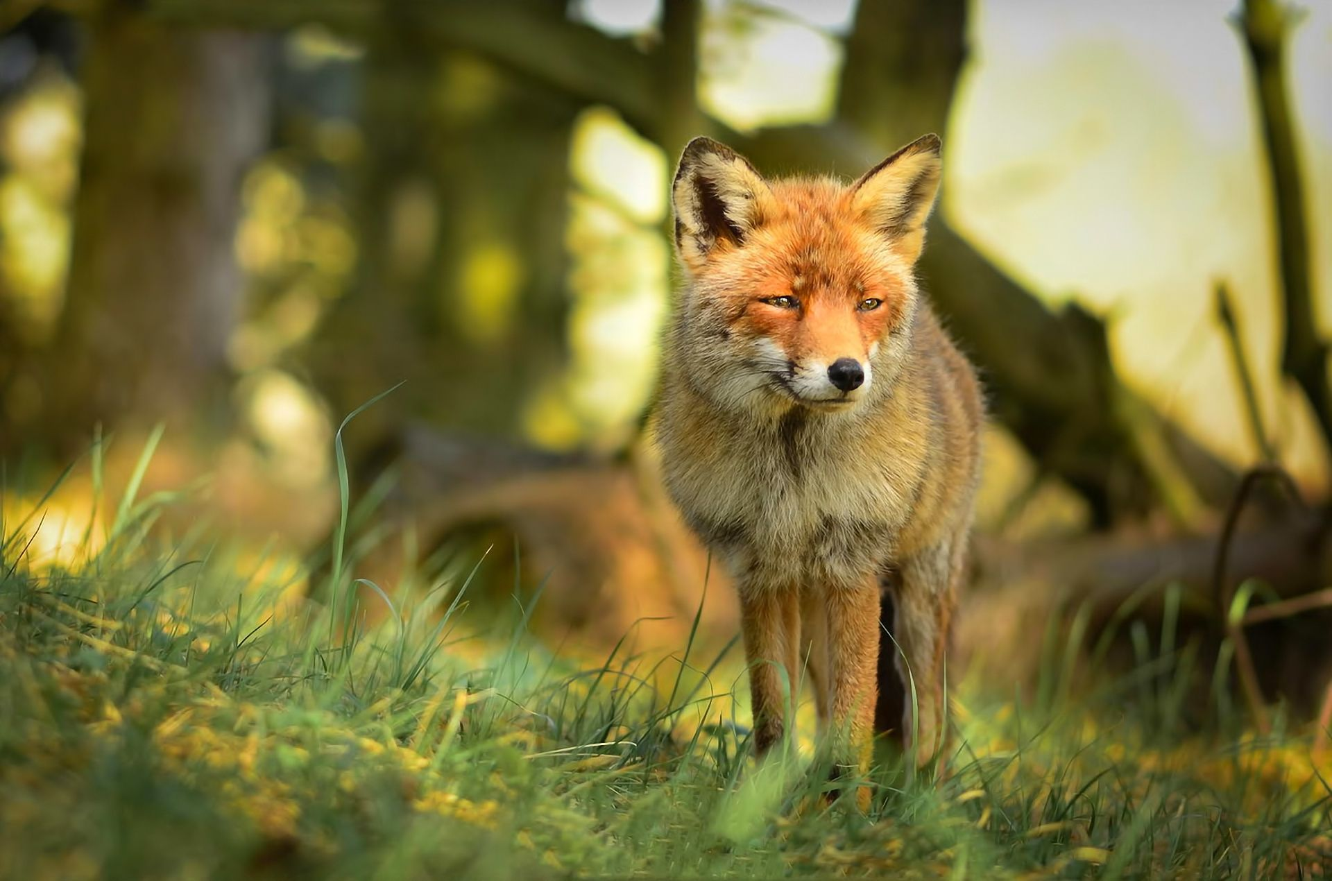 funny wallpaper red fox - photo #14