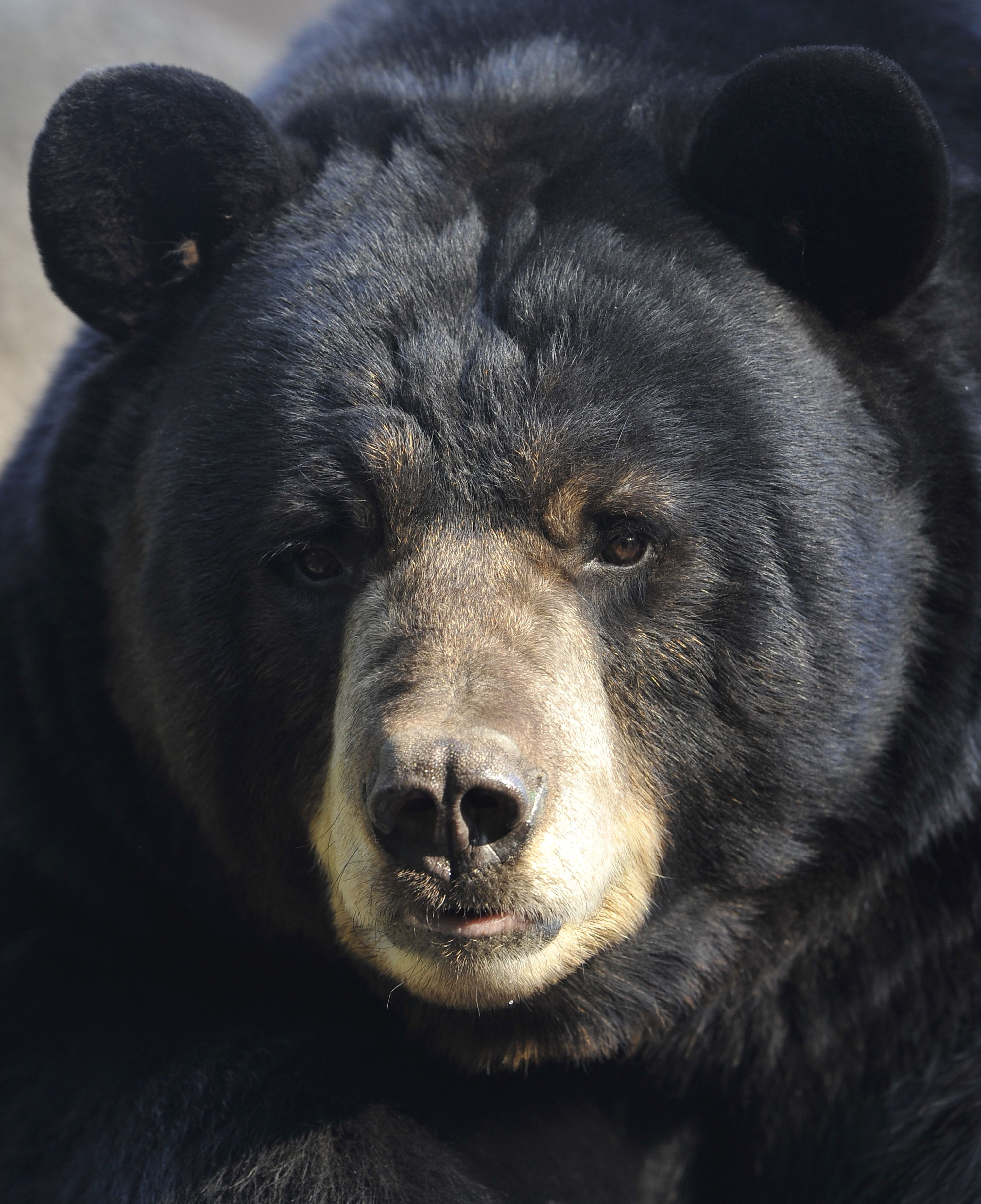 how to tell black bear from grizzly