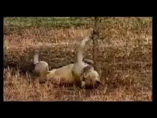 Zebra almost drowns a Lionness-