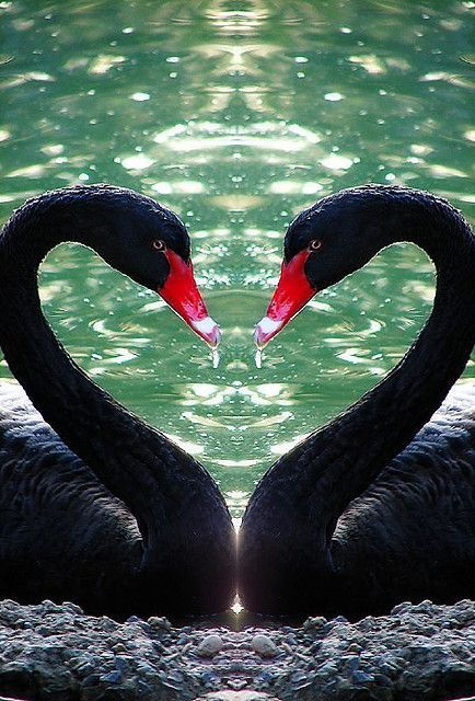 Australian Black Swans Stralian Love Symbol Photo By