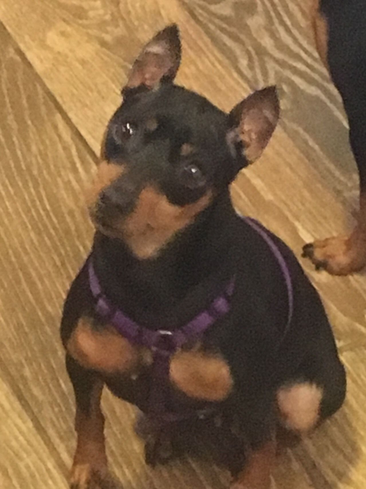 Adopt Roxie On Petfinder Puppy Mill Rescue Miniature Pinscher