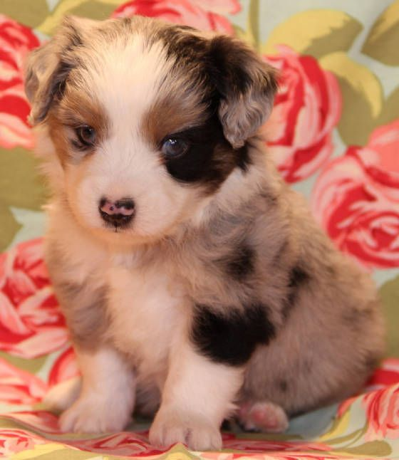 Pin On Blue Merle Toy Aussie Puppies For Sale In Co Al Ak Az