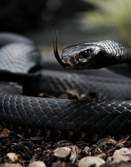 Red Belly Black Snake Black Mamba Snake Poisonous Snakes Mamba Snake