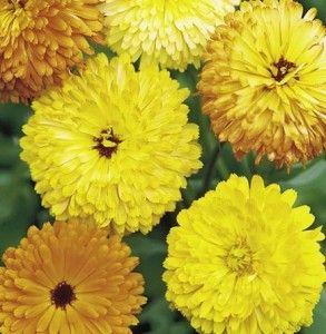 Bunga O Ranger Marigold Benih Bunga Tanaman