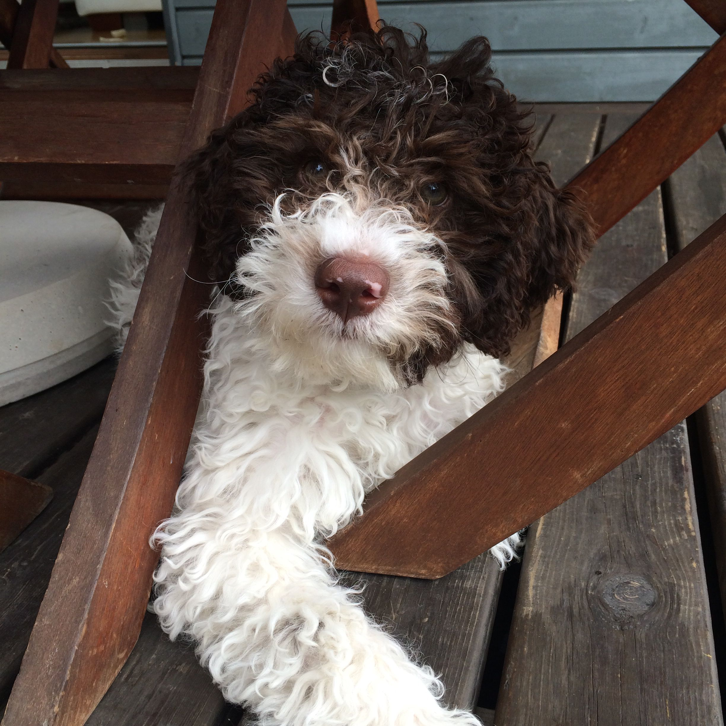My 13 Weeks Old Lagotto Romagnolo Puppy Puppies Puppies And Kitties Dog Friends