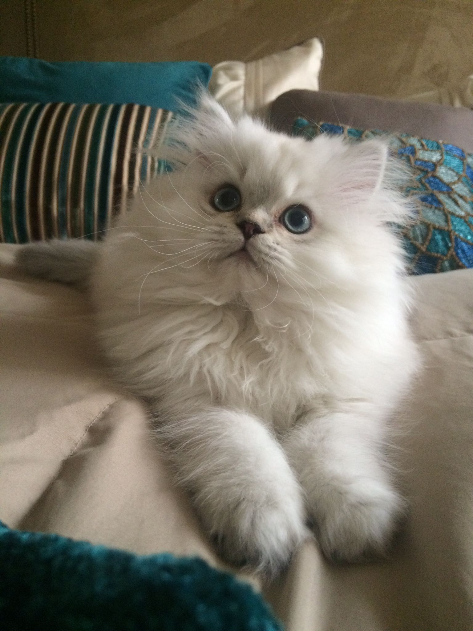 Puff, white persian kitten. (With images) Persian
