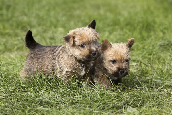 Your Adolescent Puppy And Changes To Expect Norwich Terrier Puppy Cairn Terrier Puppies Norwich Terrier