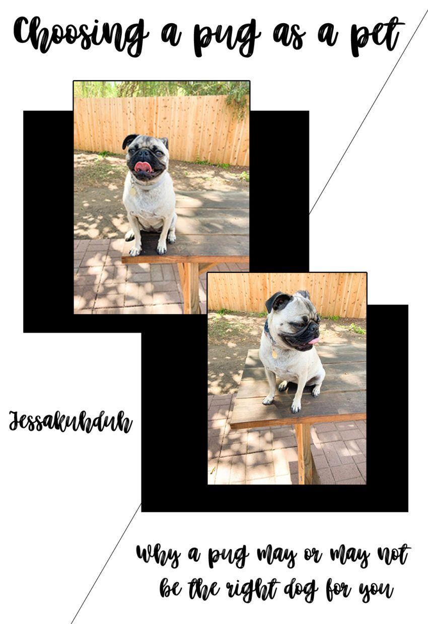 National Dog Day; Choosing a Pug as a Pet (With images