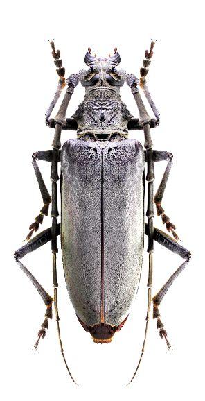 Neoplocaederus Caroli Brouci Insects Longhorn Beetle A Beetle