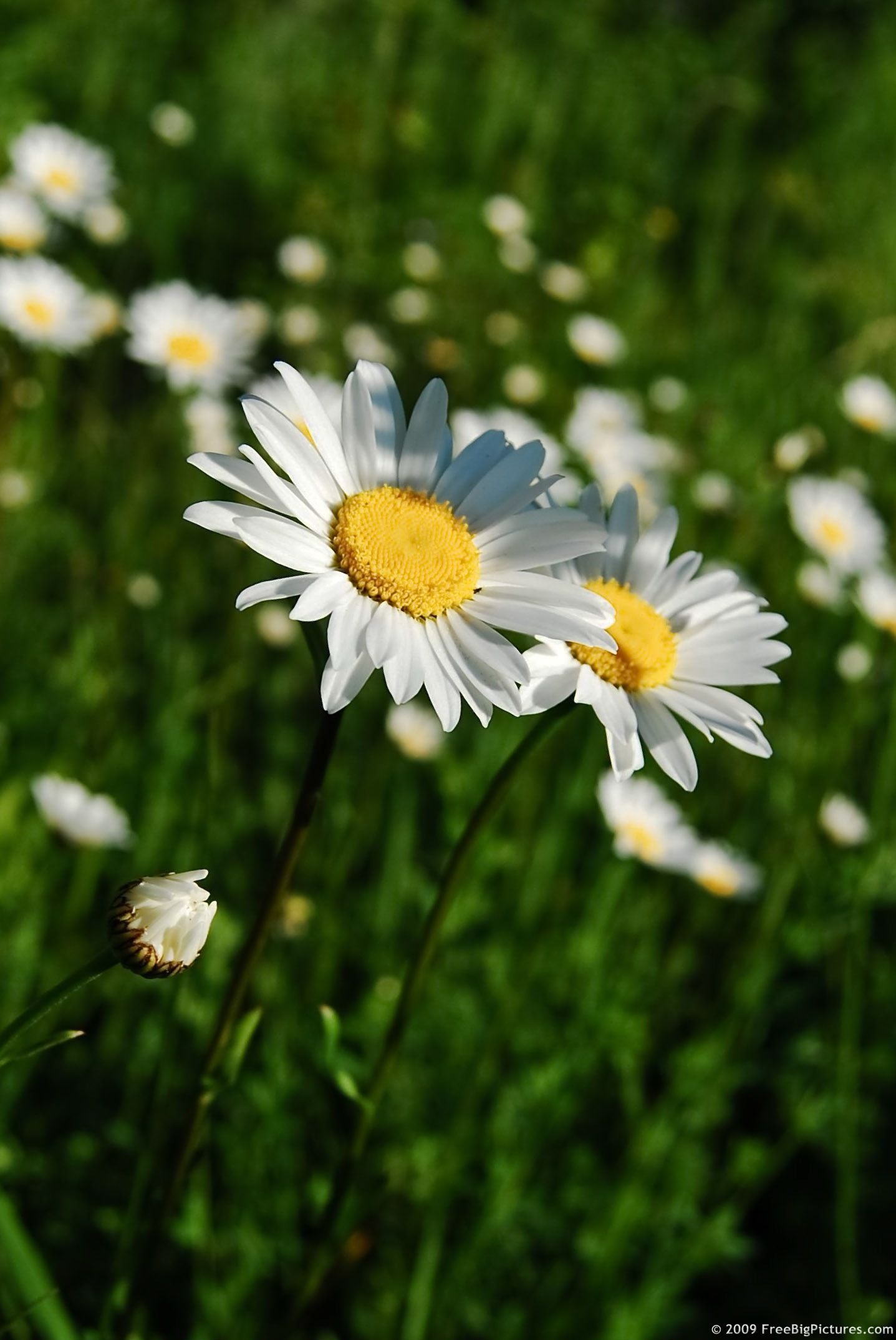Daisies pictures photo of wild flowers daisies is a lovely daisies pictures photo of wild flowers daisies is a lovely picture to free use izmirmasajfo Gallery