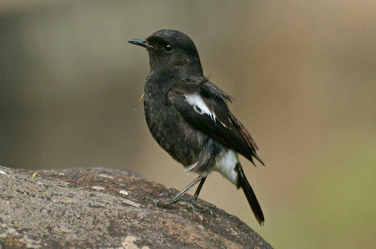 Pied Bush Chat Saxicola Caprata Black And White Birds White Bird Bird Pictures