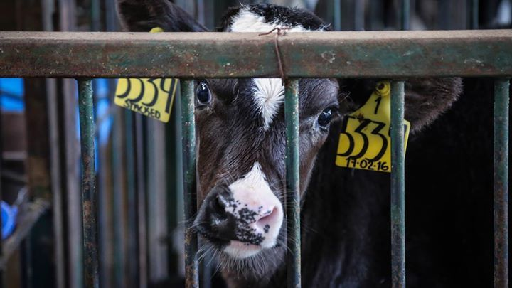 Animal Equality's investigators provide the first ever glimpse into the horrific reality cows and their calves face on factory dairy farms in Mexico. 💔  Watch and share! #Beautiful #Nature #Entertainment #Animal #Style #Tattoos #Funny #DIY