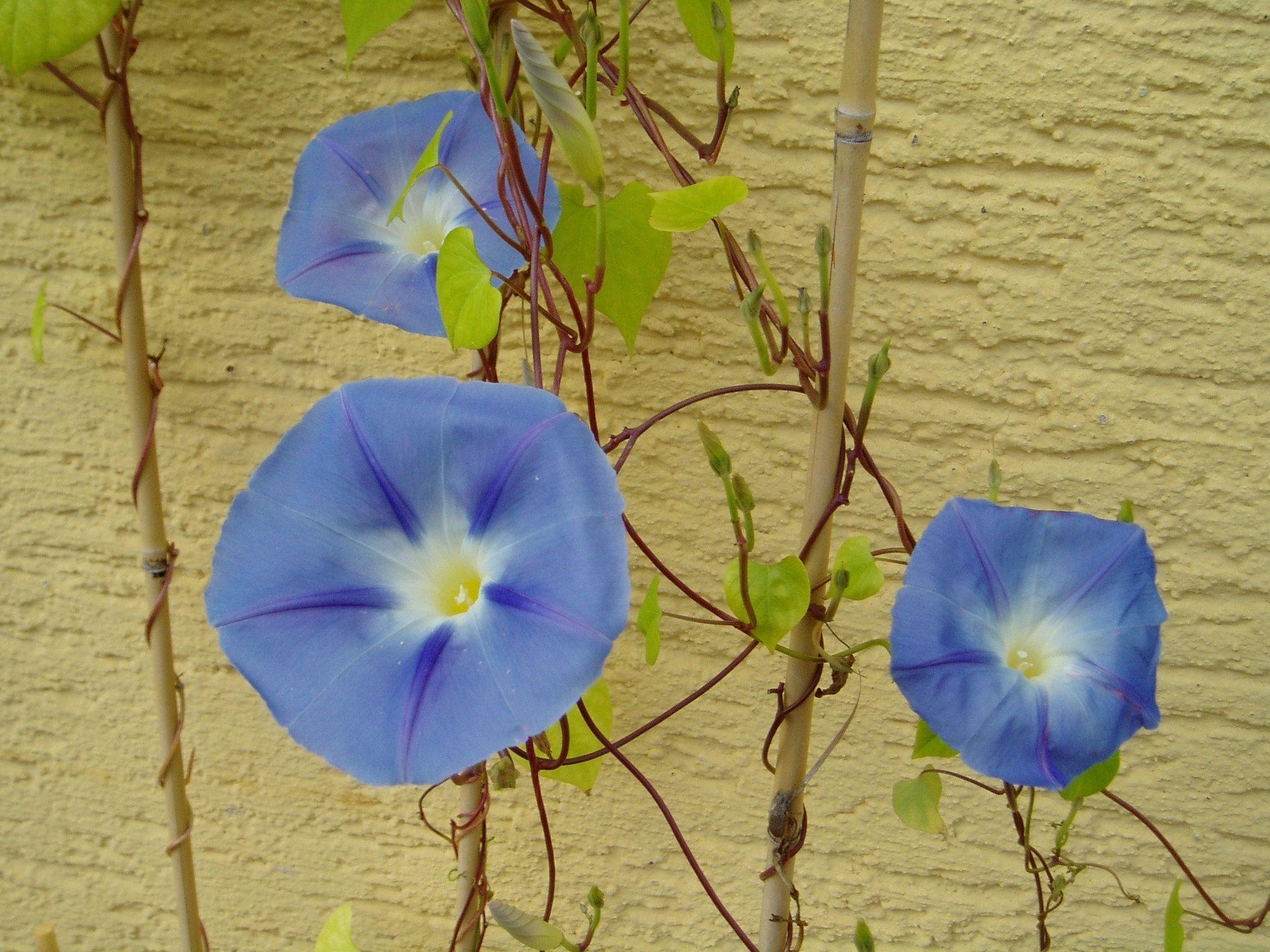 Blaue Blumen auf dem Balkon