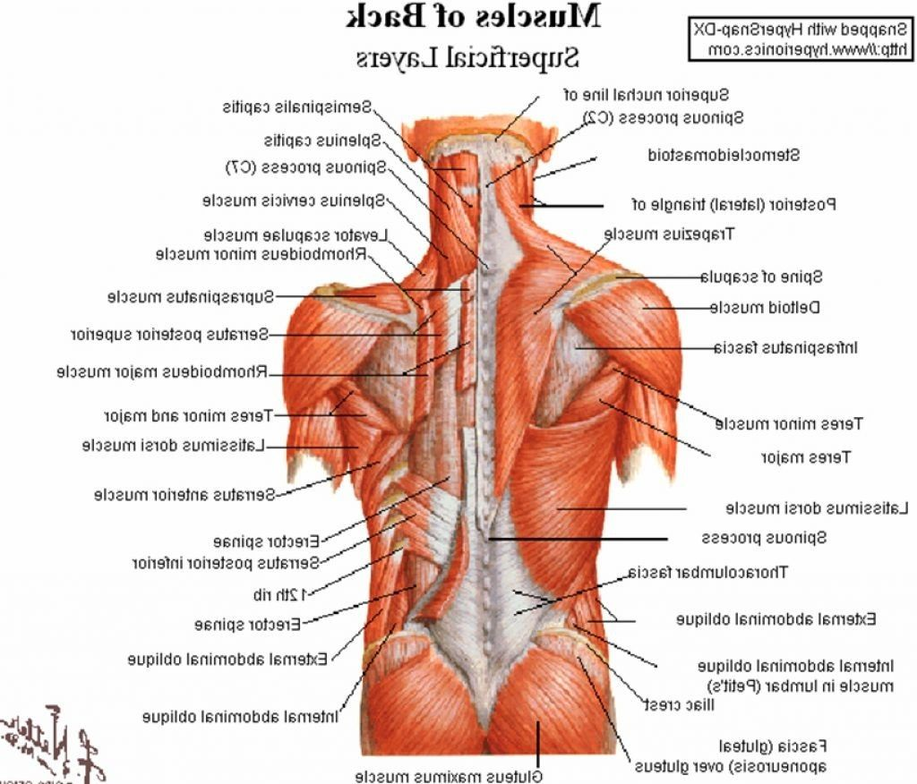 Lower Back Anatomy Pictures Human Anatomy Drawing Lower Back