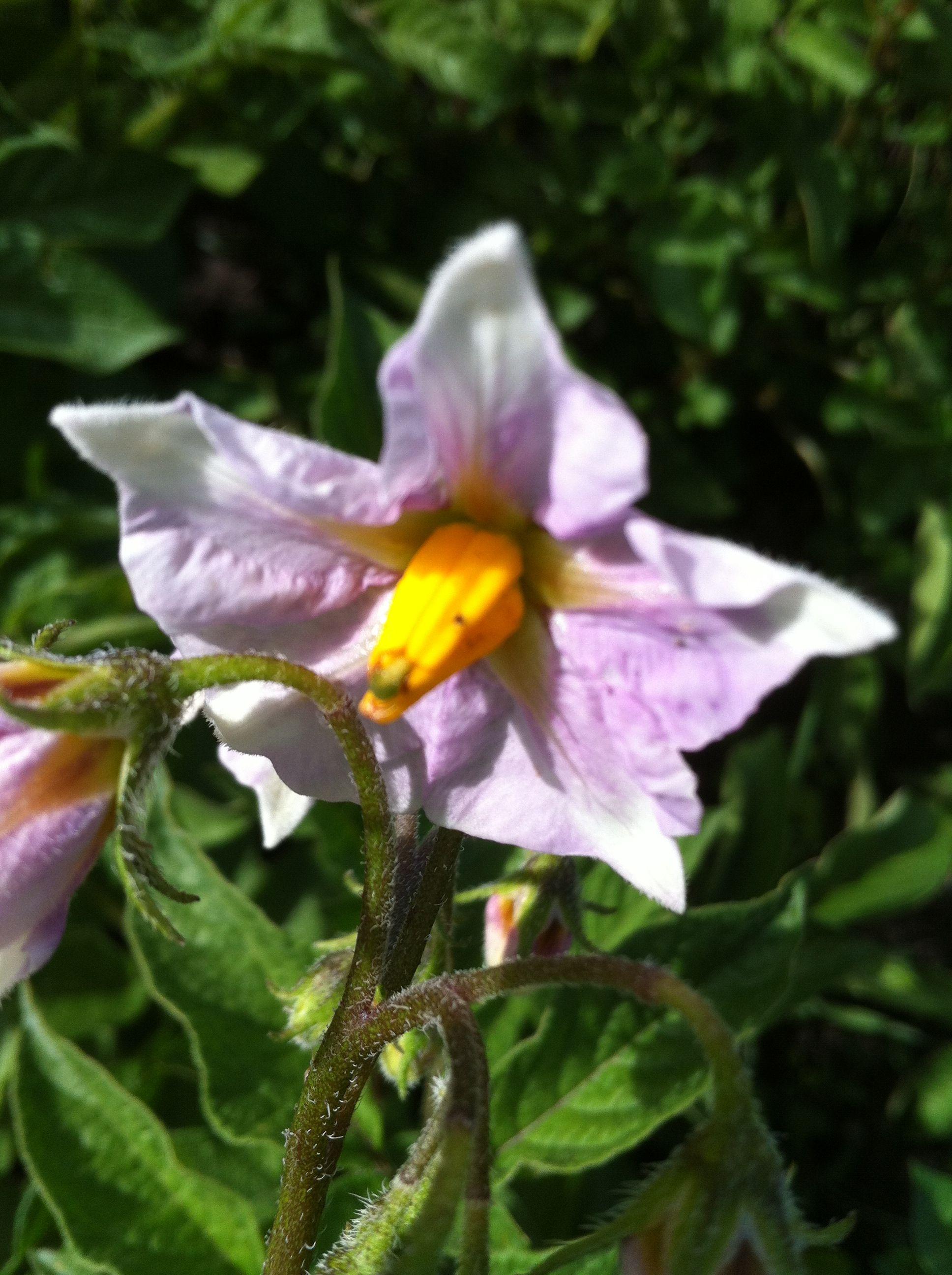 2 juillet ... Première fleur de pomme de terre