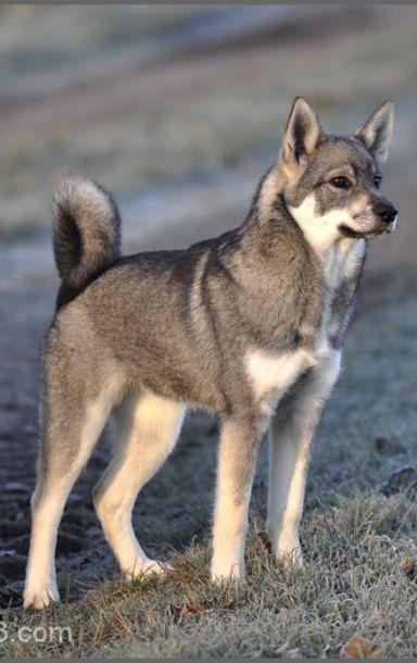 Jämthund / Jamthund Swedish Elkhound Dog Puppy