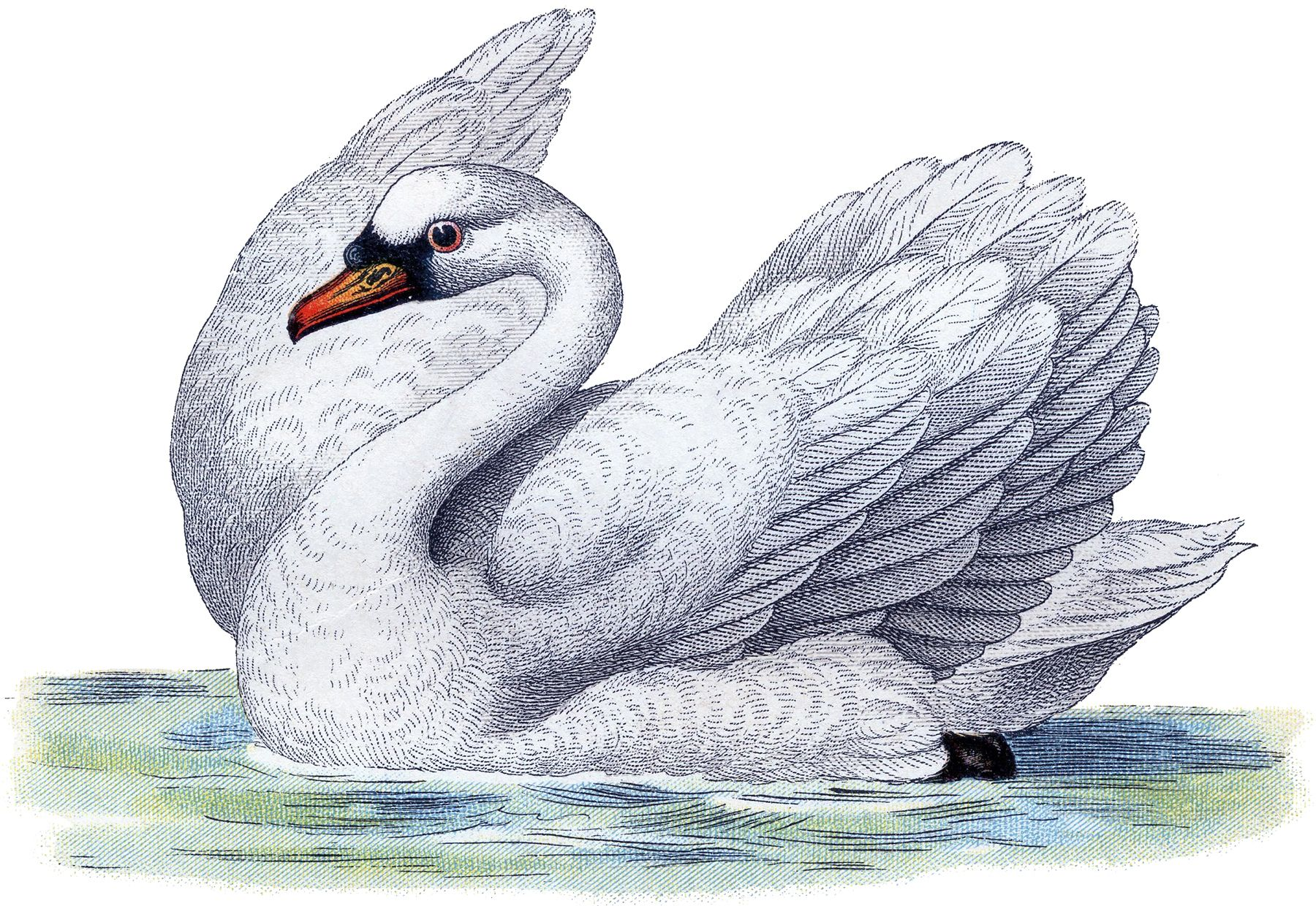50 Fantastic Animal Images! - The Graphics Fairy - Shown is the most beautiful Vintage Picture of a White Swan swimming on top of the water.