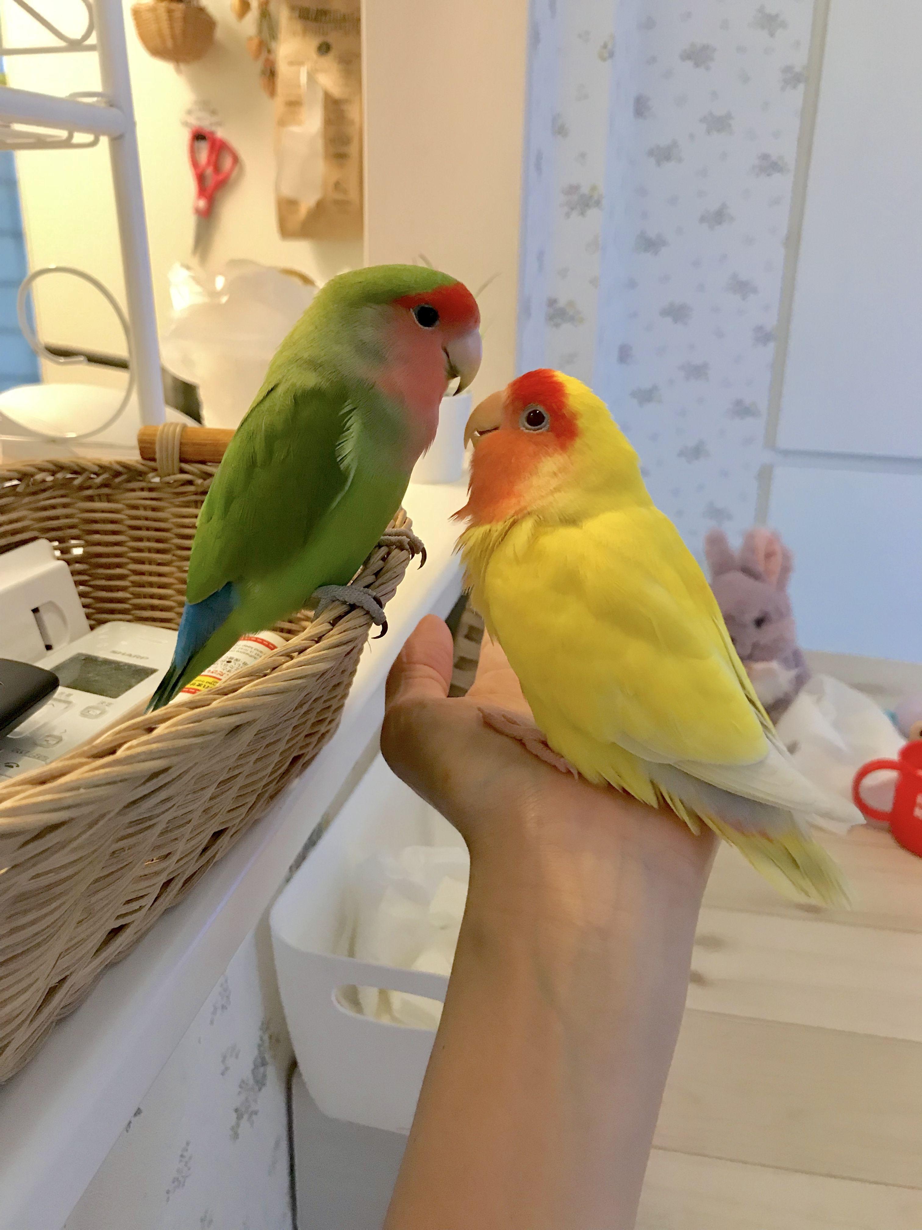 コザクラインコのしずかちゃんとみぃちゃん Pet Birds Cute Birds Cute Animal Pictures