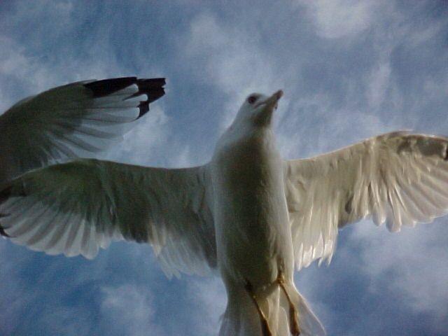 Gulls at Veterans Park, Klamath Falls, OR