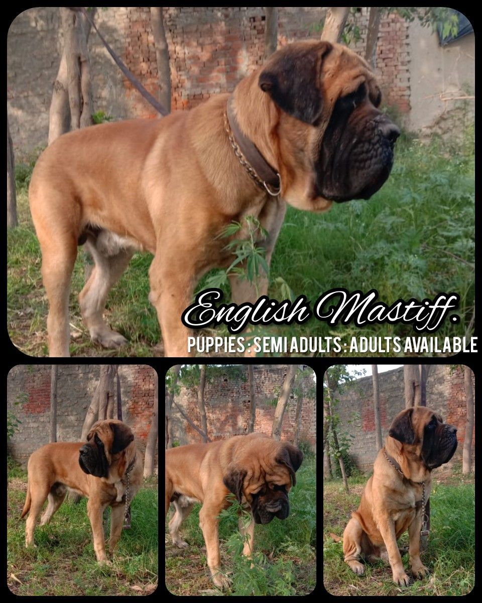 English Mastiff Adults Semi Adults And Puppies Available Tags
