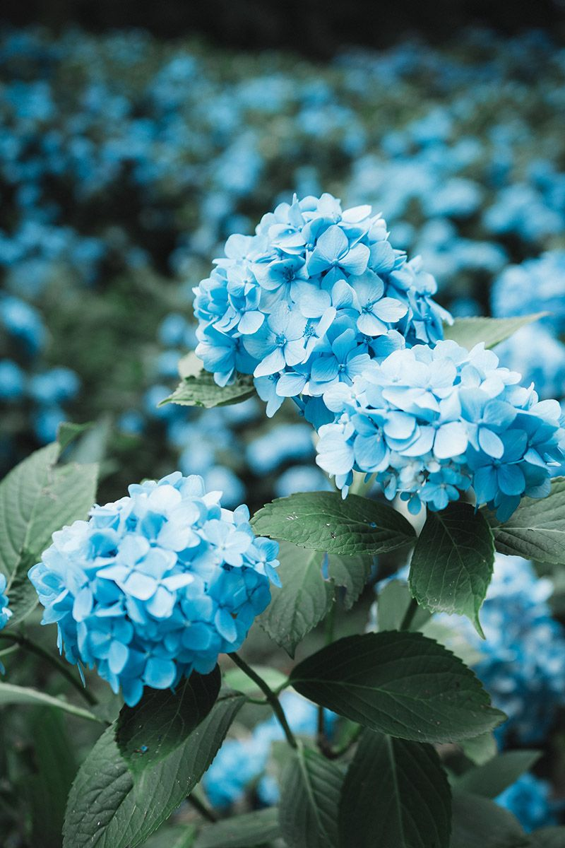 Blue Flowers II #blueflowerwallpaper