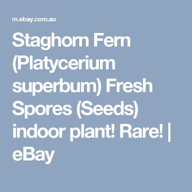 Seeds Fresh Spores Platycerium superbum indoor plant Staghorn Fern Rare!