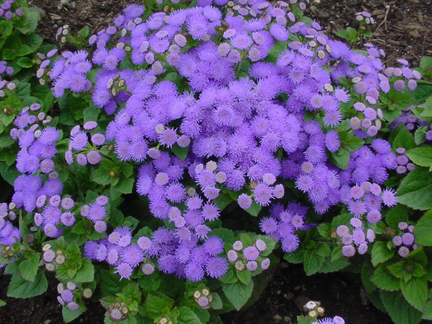 27 best linda and orazio rose quadrants images on pinterest cut favourite summer annuals for container gardening ageratum cute purple fuzzy blooms izmirmasajfo
