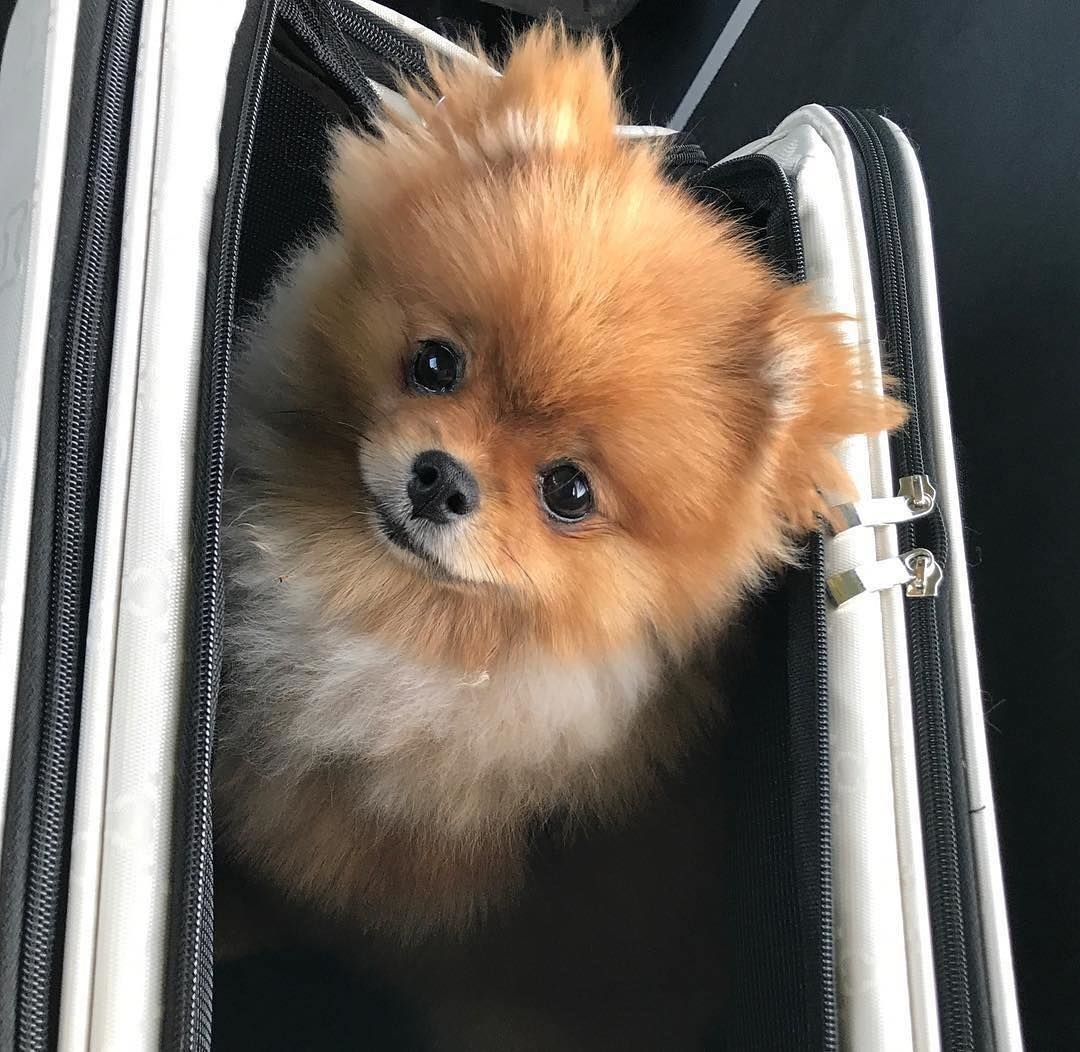 Man S Heroic Act Saves A Dog From Being Strangled By An Elevator Pomeranian Puppy Pomeranian Facts Pomeranian Dog