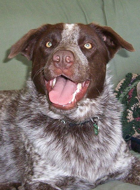 Philabeedogbook German Shorthaired Pointer Dogs Dog Mixes