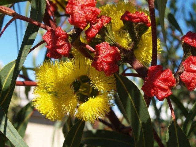 Eucalyptus Erythrocorys Small Mallee Type Tree With Slight Pendulous Habit 3m High X Australian Flowersaustralian