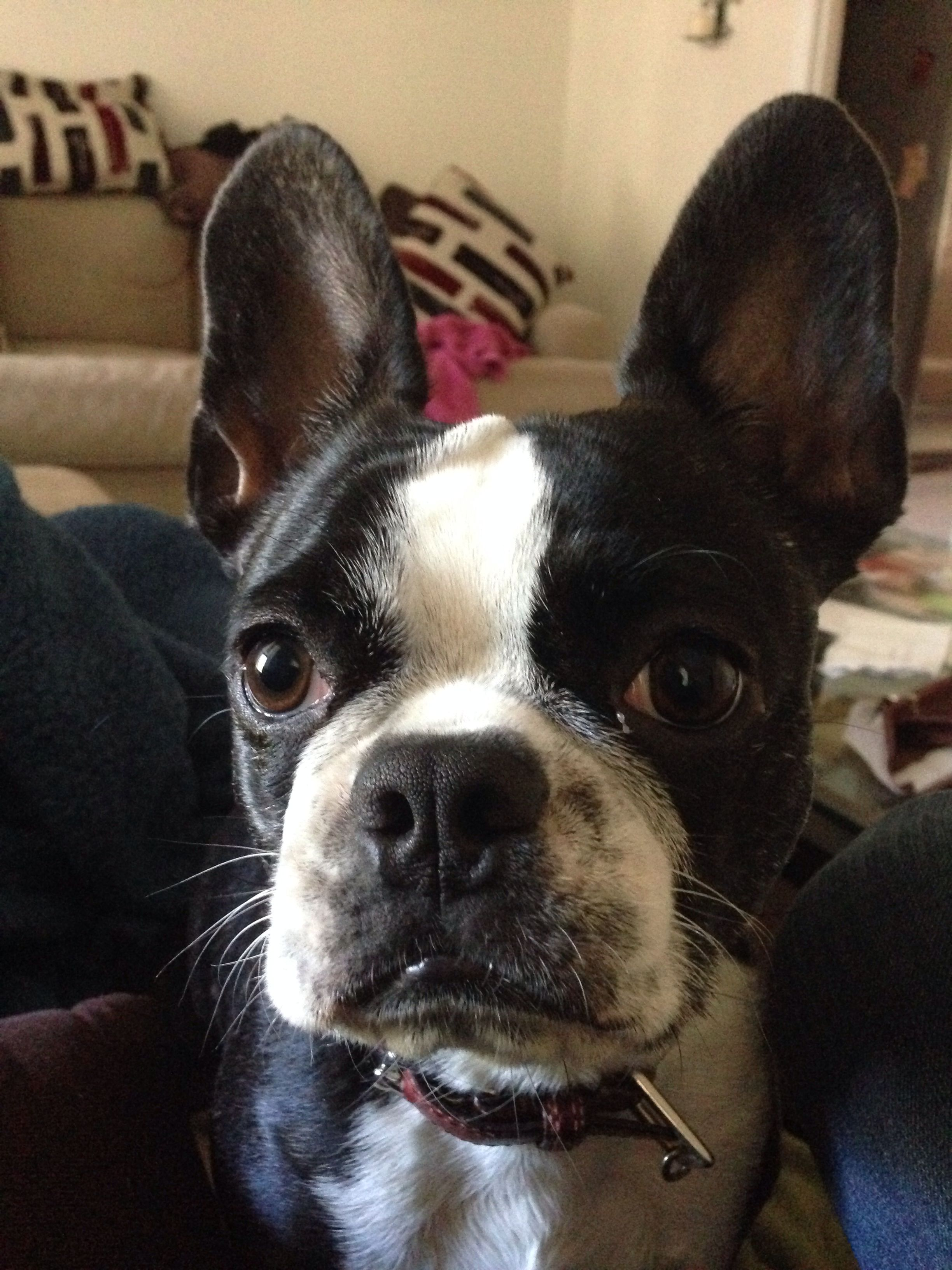 This Is A Frenchton A French Bulldog And Boston Terrier Mix Puppy And 100 Gorgeous Terrier Mix Boston Terrier Dog Cat