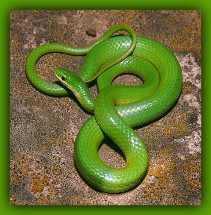 Green Smooth Snake The Smooth Greensnake Opheodrys Vernalis Is