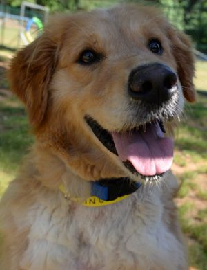 This is Lincoln - 4 yrs. He is one of 36 Goldens rescued from Turkey. He had a benign tumor removed from a paw and has been treated for ear infections. He is neutered, current on vaccinations, needs a stay at home owner, a physical fence and no kids under age 10 yrs. Adopt A Golden Atlanta, GA. - http://www.adoptagoldenatlanta.com/orphans_detail1.asp?id=3307&frame=2